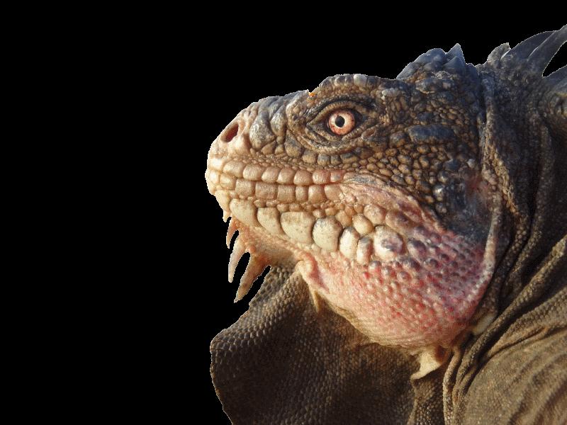 Iguana Délicatissima